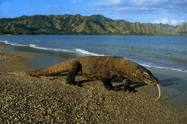Komodo dragon walking on beach on Komodo Island.